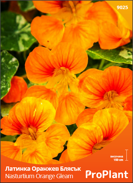 latinka oranjev blyasuk